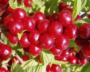 Сорт войлочной вишни «Натали» очень популярный