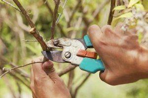 Обрезка веток хорошо влияет на урожай вишни