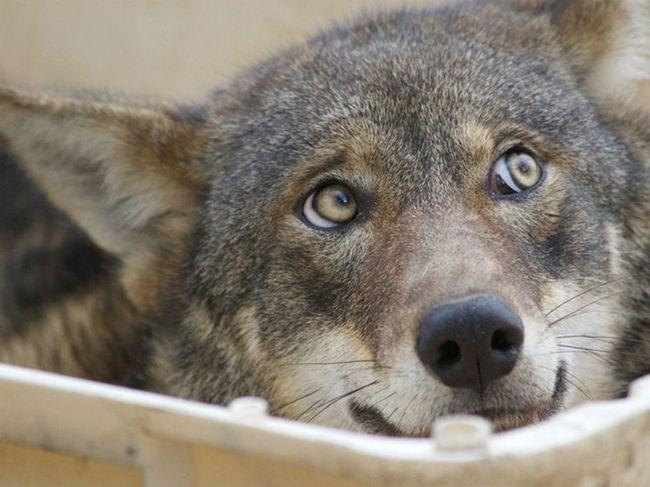 Волки используют глаза для общения друг с другом