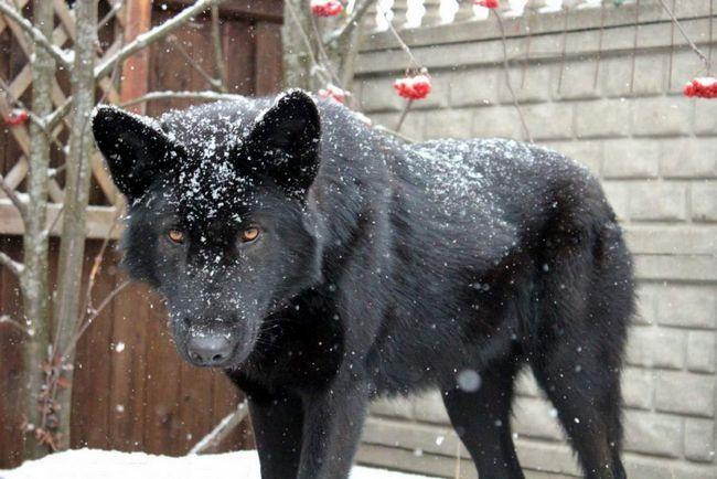 Díky své velikosti a grip vlčí volkosoby zůstat poslušný a šetrné k člověku.