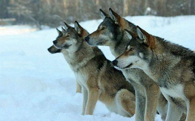Wolves překonat psů ve velikosti a síle, a tedy pouze psi jednotky přežít a stát se členy smečky a získat lásku ona-vlk.