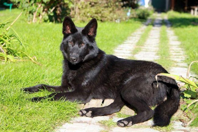 Volkosoby - velmi zdravá zvířata a jsou závislé na genetických chorob je méně než většina plemen psů.
