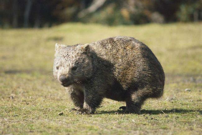 Вомбат - сумчатый грызун, обитающий в Австралии