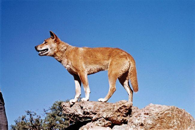 Дикая собака Динго - главный враг вомбата, после человека