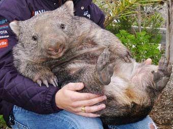 wombat pojmenovaný pro Florencii