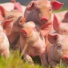 Reprodukciju svinja stada