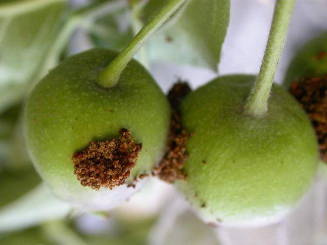 Зреющие персики после посещения персиковой плодожорки.