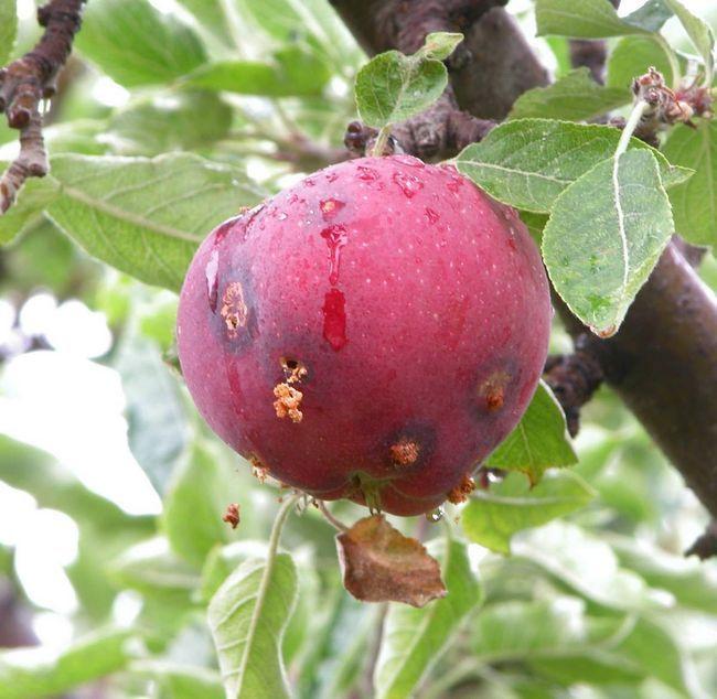 Гусеницы восточной плодожорки питаются сочными плодами персиков и других фруктов.