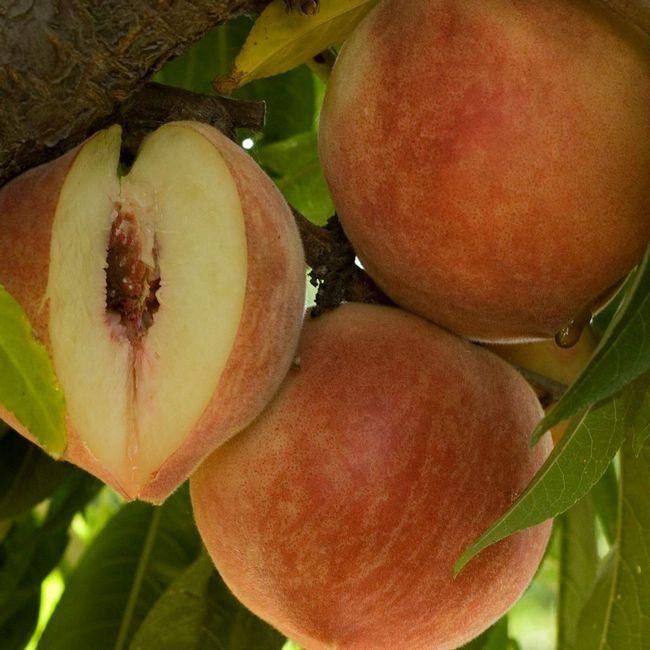 Для садоводов и производителей персиков восточная плодожорка - настоящее бедствие, она губит весь урожай.