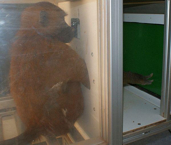 Возможно, бабуины научатся читать