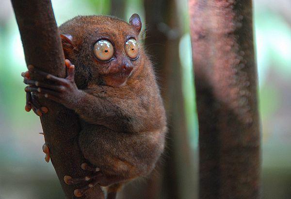Возможно, филиппинский долгопят использует ультразвук для общения