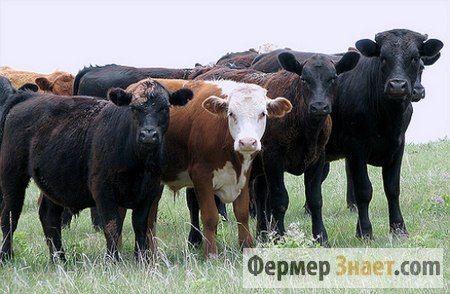 Возможно ли вылечить цистицеркоз крупного рогатого скота