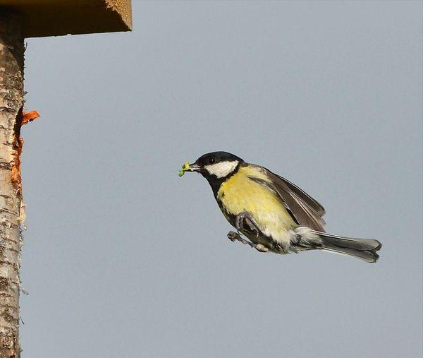 Velike Tit o pristupanju gnijezdo