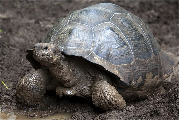 Galapagos kornjača sa konvencionalnim, kupolom oklop