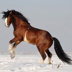 Pasmina konja Vladimir Heavy Nacrt