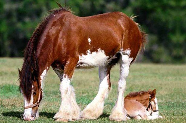 Konja i ždrijebe Vladimir Heavy Nacrt