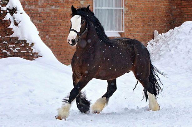 Pasmina konja Vladimir tyazheloupryazhnaya
