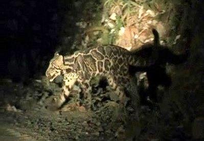 Впервые снят на видео дымчатый сундалендский леопард