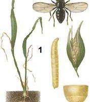 Вредители зерновых культур. Система защитных мероприятий