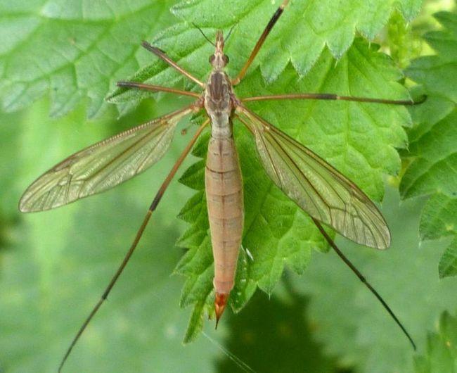 Tipula paludosa (Tipula paludosa).