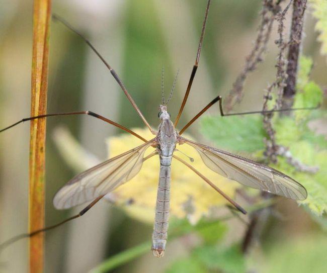 Tipula paludosa spôsobila veľké škody na rastlinách.