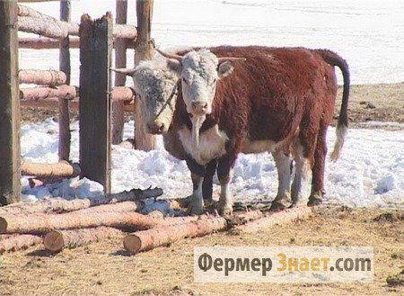 Sadržaj goveda Hereford zime