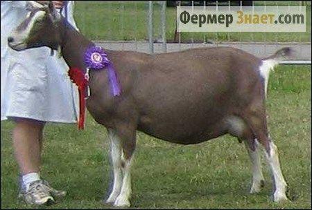 Toggenburgskaya koza