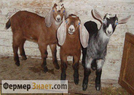 nubijski koza
