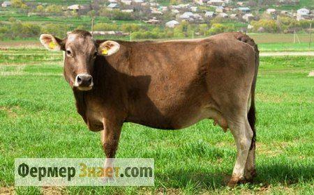 mladý kráva