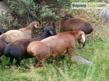 Ovce u pašnjaku