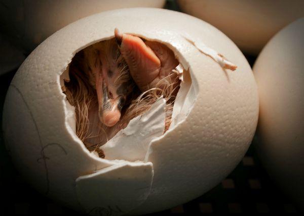 Nestling noja ljuske jajima