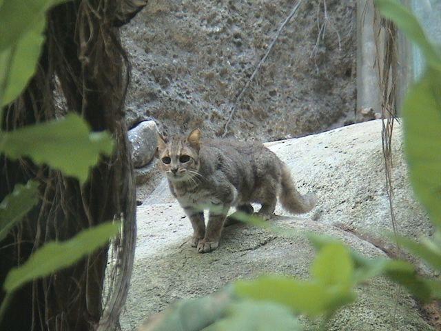 Chinese, Gobi, pouště Číny nebo čínské horská kočka (Felis bieti).