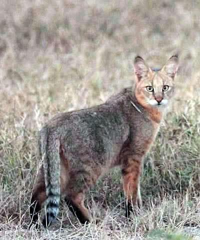 Dům nebo jungle cat (Felis chaus).