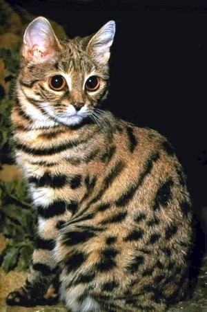 Crno-footed mačka (Felis nigripes).