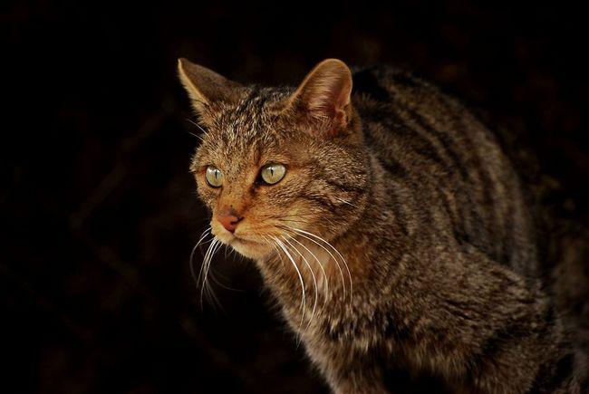 Wild Cat (Felis silvestris).