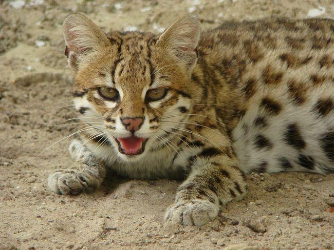 Ocelot stromový nebo tygr kočka (Leopardus tigrinus).