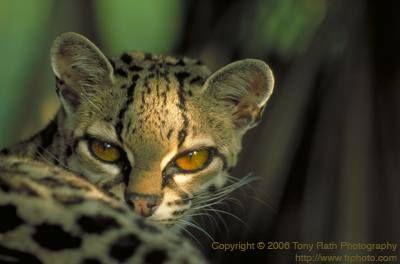 Margao (Leopardus wiedi).