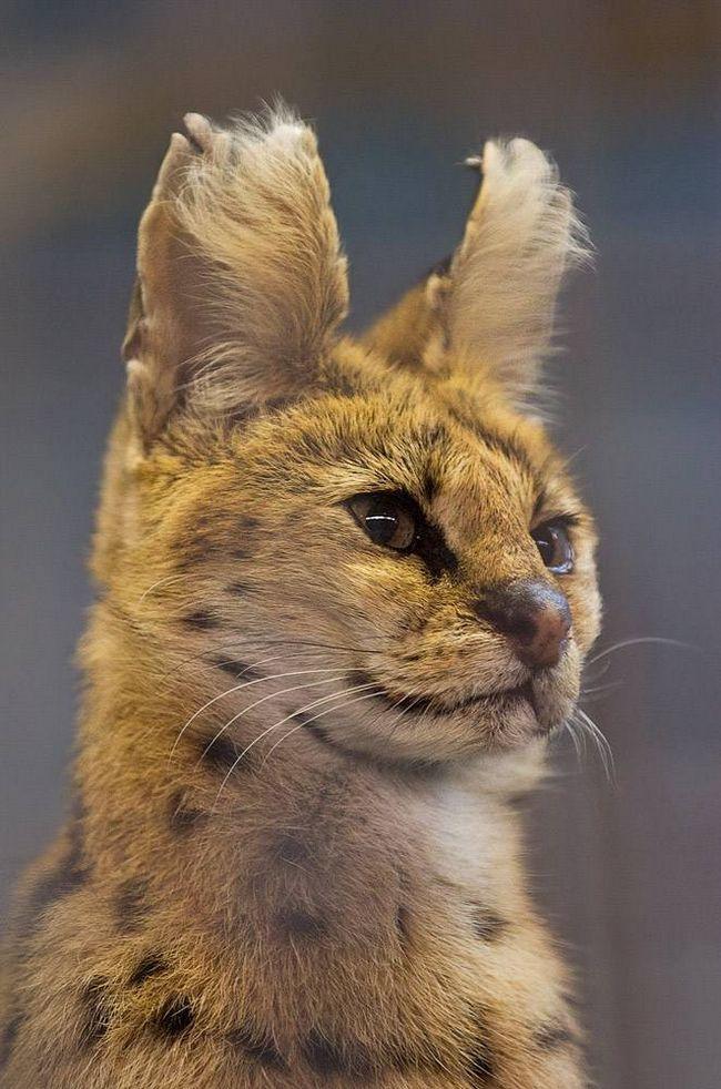 Serval (Leptailarus serval).