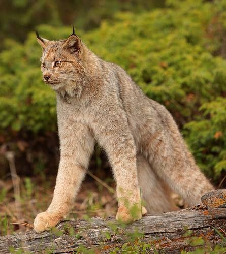 Kanadský rys (Lynx canadensis).