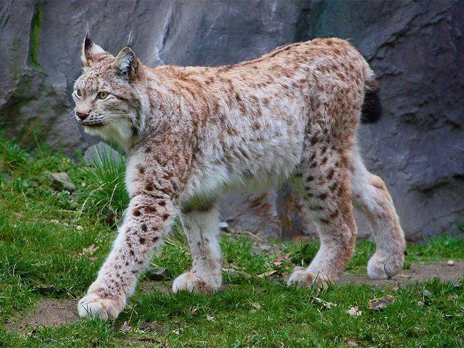 Common nebo rys ostrovid (Lynx lynx).