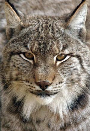Pyrenejský, iberský, nebo španělský rys (Lynx pardina).