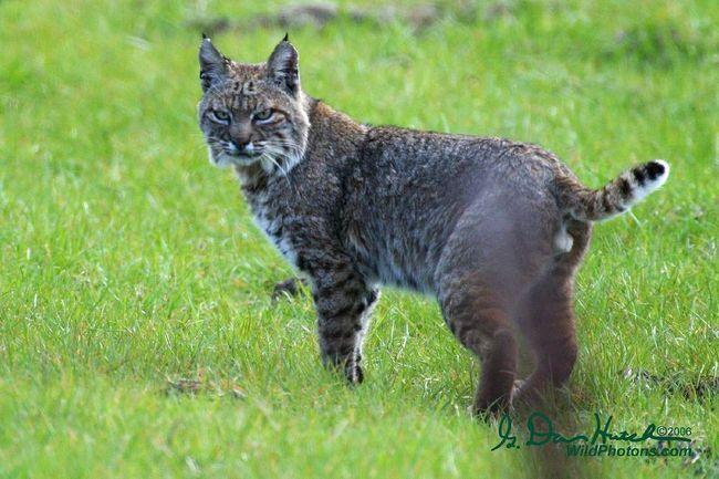 Červená nebo červená rys (Lynx rufus).