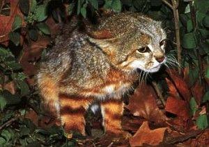 Pampasskaya cat (Oncifelis Colo-Colo).