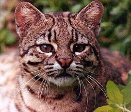 Cat Geoffroy (Oncefelas geoffroyi).