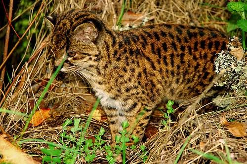 Kočka tmavá (Oncifelis guigna).