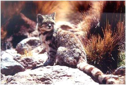 Kočka horská (Oreailurus jacobita)