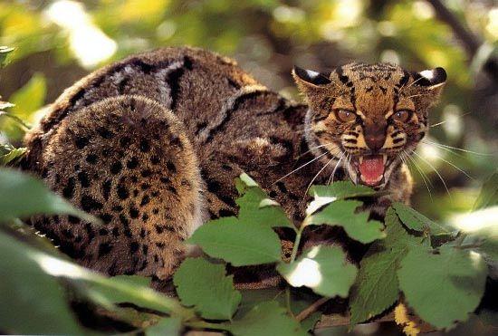 Kočka mramorovaná - pardofelis marmorata