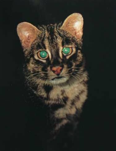 Iriomote Cat (Prionailurus iriomotensis).