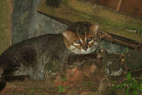 Háčky, nebo kočka plochočelá (Prionailurus planiceps).