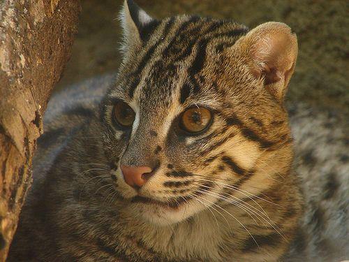 Kočka rybářská, ryby, nebo civet kočku (Prionailurus viverrinus).